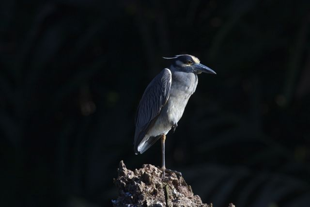 Day 5 Yellow Crowned Night Heron