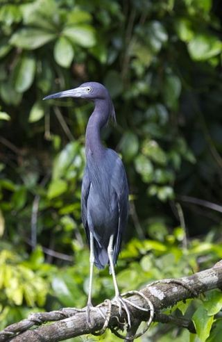 Day 5 Little Blue Heron