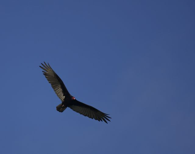 Day 6 Turkey Vulture