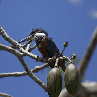 Day 6 Kingfisher