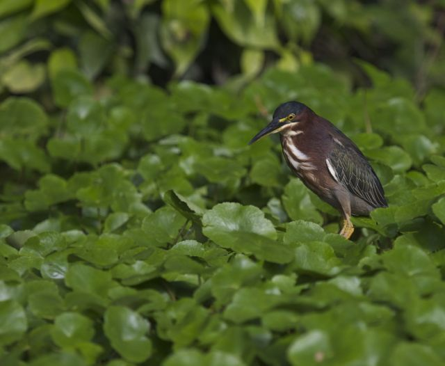 Day 5 Green Heron