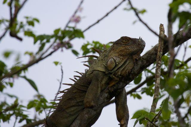 Day 5 Iguana One Arm
