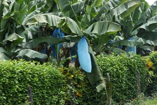 Day 3 Banana plantation 2