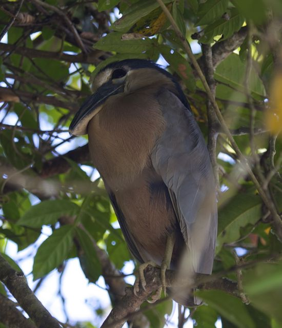 Day 6 Boat Billed Heron