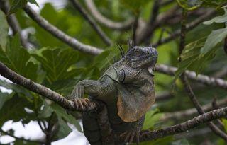 Day 5 Iguana